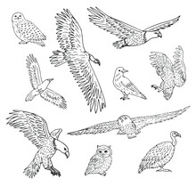 Vector Set Bundle Of Hand Drawn Doodle Sketch Wild Predator Birds Isolated On White Background
