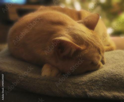 Fototapeta Kot kociak zwierzę domowe biszkoptowy śpiący leniwy portret kota obraz
