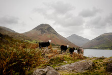 Group Of Sheep Looking At Camera In The Lake District National P
