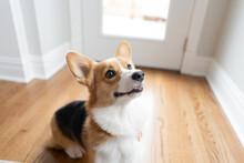 Corgi Dog Sitting Indoors Looking Up