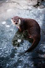 Sea Otter Standing On Ice