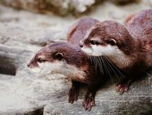 Two Sea Otters Focused On Something