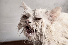Ugly Wet Kitty During Bath