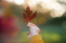 Close Up Of Hand Holding Maple Leaf Between Fingers In Pretty Light