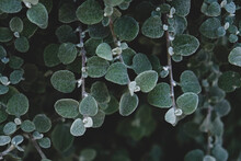 Beautiful Natural Leaves Texture For Background. Garden Plants.