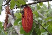 Fruit Of The Cocoa Tree In Ecuador