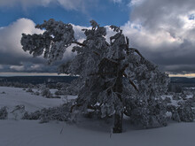 Front View Of Bizarre Looking Single Coniferous Pine Tree With Frozen Branches In Deep Snow Near Schliffkopf Peak, Germany In Black Forest Mountain Range With Cloudy Sky Clearing Up In Winter Season.
