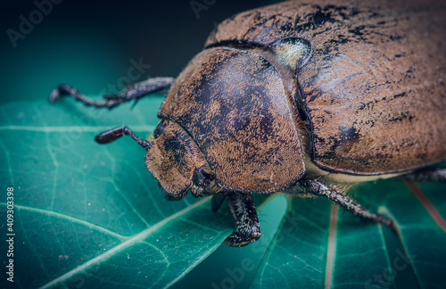 Canvas-taulu Orange-brown color Old Beetle on a leaf, macro close up wildlife photo
