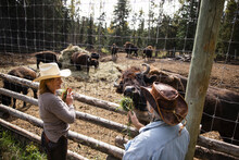 Women Friends In Cowboy Hats Feeding Grass To Bison At Fence