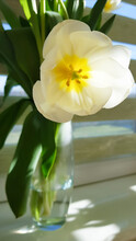 A Beautiful White Tulip Stands In A Transparent Vase On The Windowsill. The First Spring Flowers. Mobile Photo