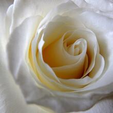 Light Cream Coloured Rose Flower Close Up On The Curling Unfurling Petals.
