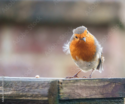 Fotografie, Obraz close up of a robin redbreast standing on the edge of a wooden bird feeder tray