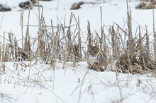 Bobcat (Lynx Rufus) Crouches Hidden In Weeds Winter
