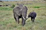 Fototapeta Sawanna - Słonie afrykańskie (Loxodonta africana) - samica z młodym. W tle widoczne zebry i antylopy gnu. Rezerwat Masai Mara (Kenia)