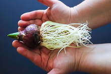 Hands Holding A Hyacinth Bulb With Exposed Roots