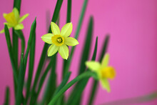 Three Yellow Mini Daffodil On Pink Background, Colorful Happy Easter