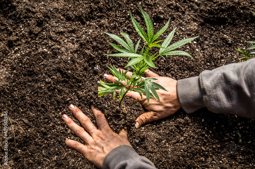 Fototapeta Close up of the weed and Cannabis Farm Industry obraz