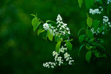 A Beautiful White Flowers Of A Bird Cherry. Prunus Padus Tree Flowering In The Spring. Closeup Of A Hackberry Flowers In Northern Europe.