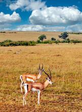 Gazelles In Kenya