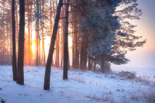 Winter Sunrise. Winter Forest In Sunlight In Frosty Mist Morning. Beautiful Scene Of Pine Trees And Sunbeams Through Their Trunks And Branches. Winter Nature Landscape.