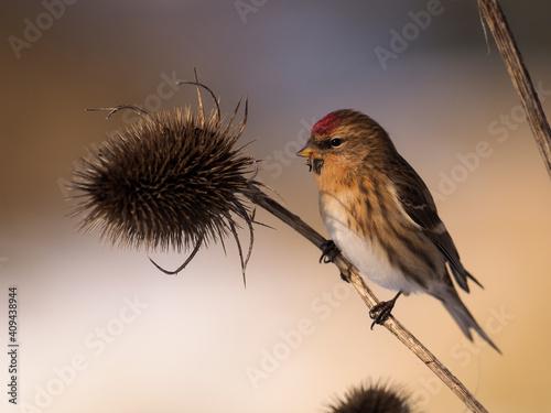 Lesser redpoll, Acanthis cabaret Fototapeta