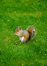 Eastern Fox Squirrel  (Sciurus Niger) Eats The Nuts In The Park.  Portrait.