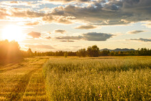 Field In The Rays Of The Sunset, Soon Autumn