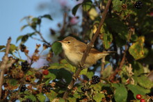 A Reed Warbler Perched In A Bramble Bush.