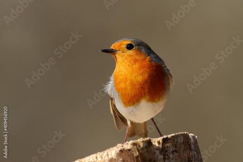 Fotografie, Obraz A European Robin perched.