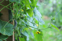 Green Branches Of Cucumber Plant With Young Vegetables And Yellow Flowers Pollinated By Bumblebee