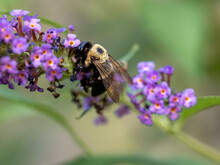 Black And Yellow Striped Bumble Bee Pollinating A Purple Butterfly Bush Flower Bloom With A Soft Green Nature Background In The Summer.  Winged Insect, Wildlife, Nature.