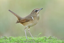 Wonderful Nature With Brown Bird Happily Living On Soft Grass Raising It Tail And Up Chest Pround