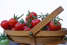Trug Of Freshly Picked Tomatoes At The Height Of The Summer Season In UK