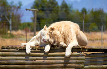 White Lion And White Lioness Cuddling In South Africa