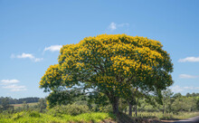 Sibipiruna Tree (Caesalpinia Peltophoroides) With Yellow Flowers And Blue Sky Background
