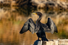 Cormorant On A Branch