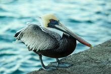 Pelican On The Rocks Of The Aruba Island