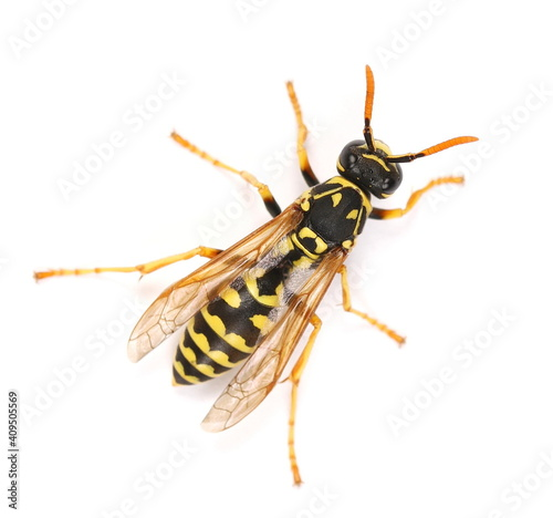 Fényképezés European wasp, Polistes associus, isolated on white background, top view