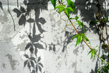 Virginia Creeper Vine Growing On A White Wall In The Summer Parthenocissus Quinquefolia, Known As Victoria Creeper, Five-leaved Ivy, Or Five-finger.Wonderful Leaf Shadows.Selective Focus, Copy Space