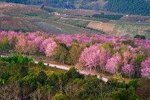 Wild Himakayan Cherry Trees Or Cherry Blossom Field On Phu Lom Lo Mountain Of Phu Hin Rong Kla National Park In Loei, Thailand