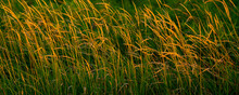 Native Prairie Grasses At Sunset