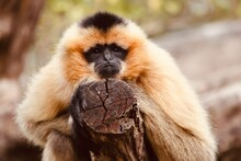 Close Up Of A Tamarin