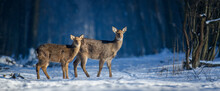 Close Two Young Majestic Red Deer In Winter Forest. Cute Wild Mammal In Natural Environment