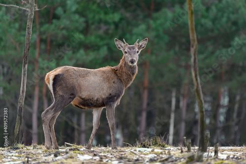 Majestatyczny Jeleń Jeleń w lesie. Zwierzę w środowisku naturalnym