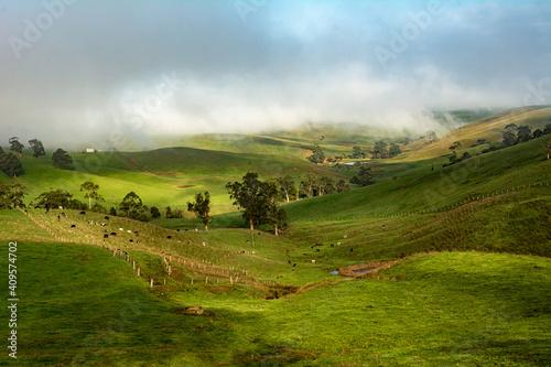 dairy cows feeding on grass in rolling hills Fototapeta