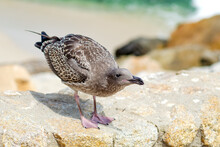 Young Seagull (Larus Argentatus) Stands On Stones On The Background Of The Ocean.