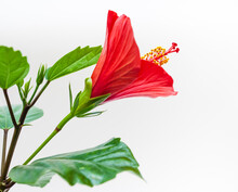 Hibiscus Flower Closeup On A White Background. Focus On The Stamens