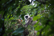 Wild Gray Langur Monkey Looking At The Camera On A Tree
