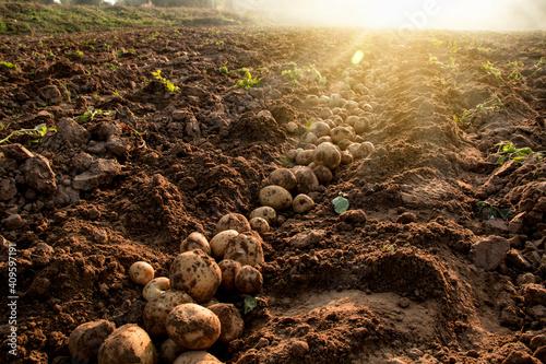 Fototapeta Organic potato harvest in the fields.