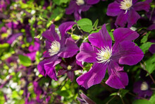 """Many Large Purple Clematis Flowers On A Background Of Green Leaves. Close-up. The Abundant Clematis  """"Niobe"""" Of Dark Violet (purple) Color With A Large Flower On The Pergola In The Garden."""